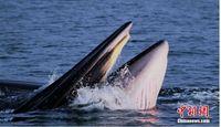 广西涠洲岛海域发现中国大陆首例近海岸大型鲸群